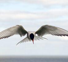 Arctic Tern by ebirder
