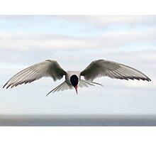 Arctic Tern Photographic Print