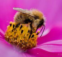 Cosmea Bee by Sarah-fiona Helme