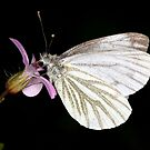 Green-Veined White by Brian Haslam