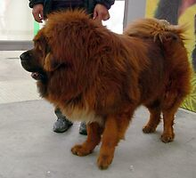 Awesome Tibetan Mastiff by welovethedogs