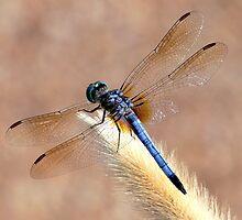Anisoptera by LjMaxx