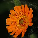Orange Flower by Robert Abraham