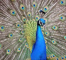 Peacock - Nature's Collection - Prague, Spring 2015 by Pete Klimek