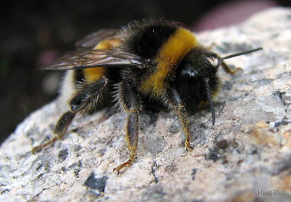Bumble-bee relaxing on stone by Hans Bax