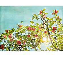 Pink Camellia japonica Blossoms and Sun in Blue Sky Photographic Print