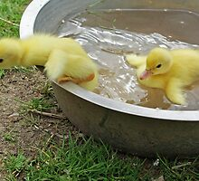 Taking a bath - musk ducklings by Paola Svensson