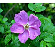 Purple Wild Rose Photographic Print