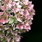Hydrangea Bokeh by Lordy99