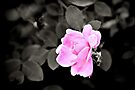 The Rose by PhotosByHealy