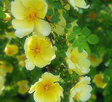 Yellow roses by Paola Svensson