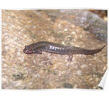 Dusky Salamander Poster