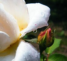 Rose's dew drop by costy33