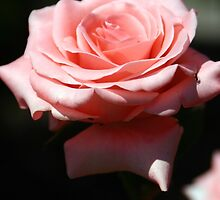 Pink Rose by vivisart