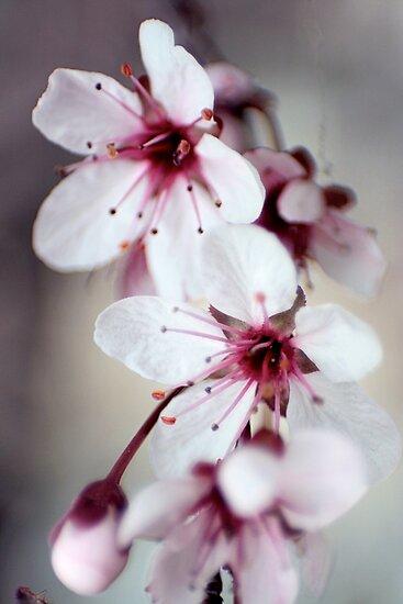 Cherry Blossoms by Lita Medinger