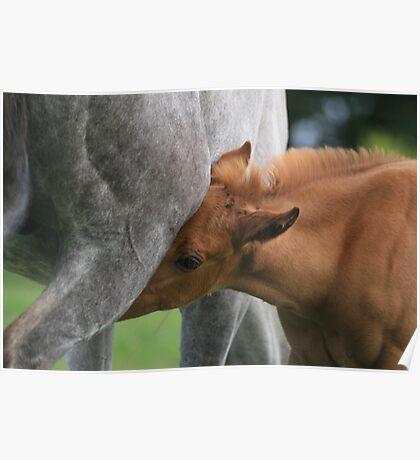 Nursing foal Poster