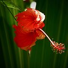The Flower Dancer by G. Patrick Colvin