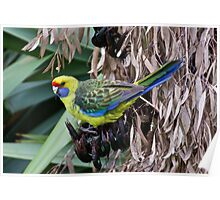 Green Rosella on spent stalks of flax Poster