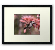 Anna's Hummingbird at Bolsa Chica Wetlands Framed Print
