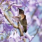 Hummingbird Visits the Jacaranda by Susan Gary