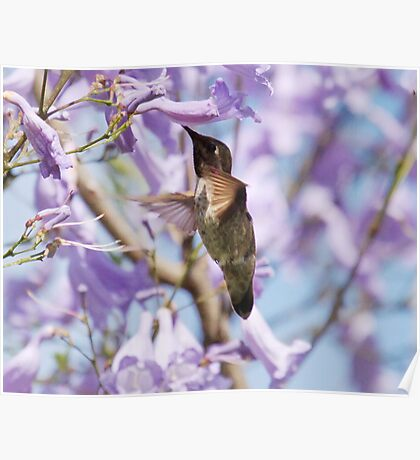 Hummingbird Visits the Jacaranda Poster