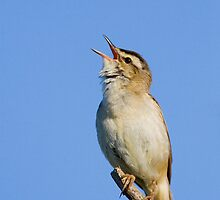 Sedge Warbler by Neil Bygrave (NATURELENS)