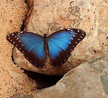 Blue Morpho  by ienemien