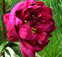Peony with a Yellow Secret by ienemien
