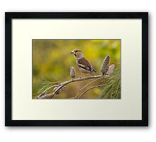 Hawfinch bird perched on a branch Framed Print