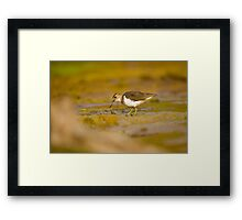 Common sandpiper (Actitis hypoleucos) foraging for food while wading in a pool.  Framed Print