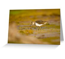 Common sandpiper (Actitis hypoleucos) foraging for food while wading in a pool.  Greeting Card