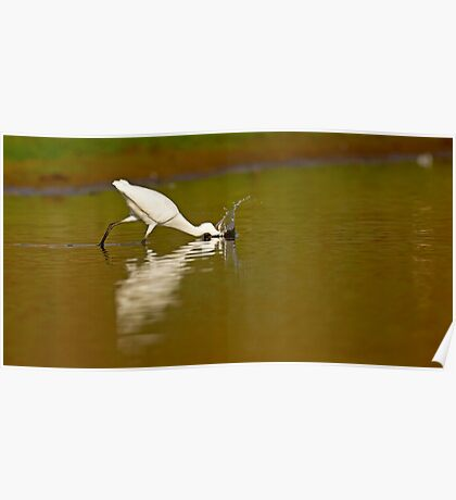 Little egret (Egretta garzetta) foraging for food while wading in a pool.  Poster
