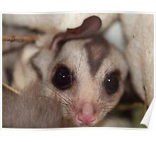 Squirrel Gliders - Bat Reach Centre - Kuranda - Queensland - Australia Poster