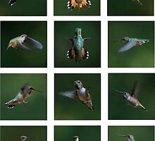 Humming Bird Montage by toby snelgrove  IPA