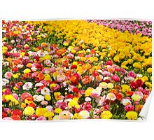 A field of multicolor cultivated Buttercup (Ranunculus) flowers  Poster