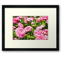 A field of pink cultivated Buttercup (Ranunculus) flowers Framed Print