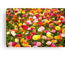 A field of multicolor cultivated Buttercup (Ranunculus) flowers  Canvas Print