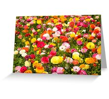 A field of multicolor cultivated Buttercup (Ranunculus) flowers  Greeting Card