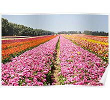 A field of pink cultivated Buttercup (Ranunculus) flowers Poster