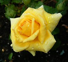 Raindrops on a golden rose by LoneAngel
