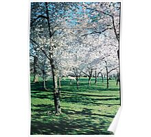 Cherry Trees photo Poster