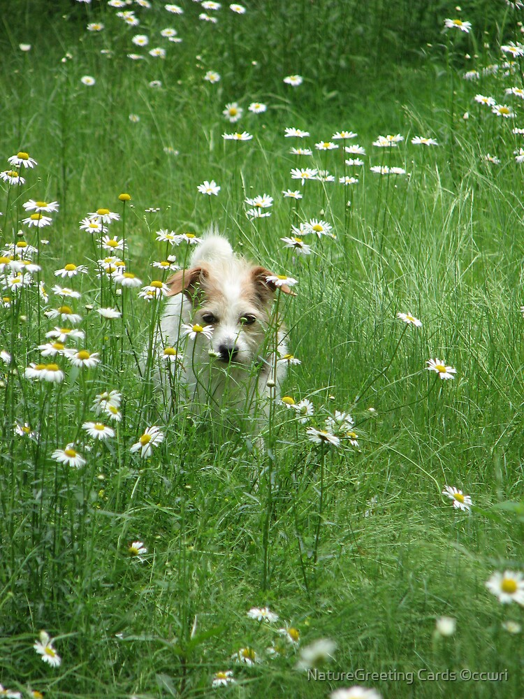 ~Decker, In the Daisy Patch~ by NatureGreeting Cards ©ccwri