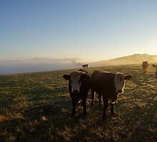 "Australia: ""Inquisitive Cows"", Victoria by Kelly Sutherland"