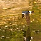 House Martin over stream by dsargent