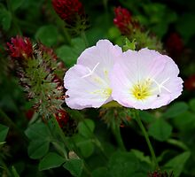 Primrose in Clover by Colleen Drew