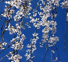 Weeping Cherry Blossoms by ForTheLoveOfArt