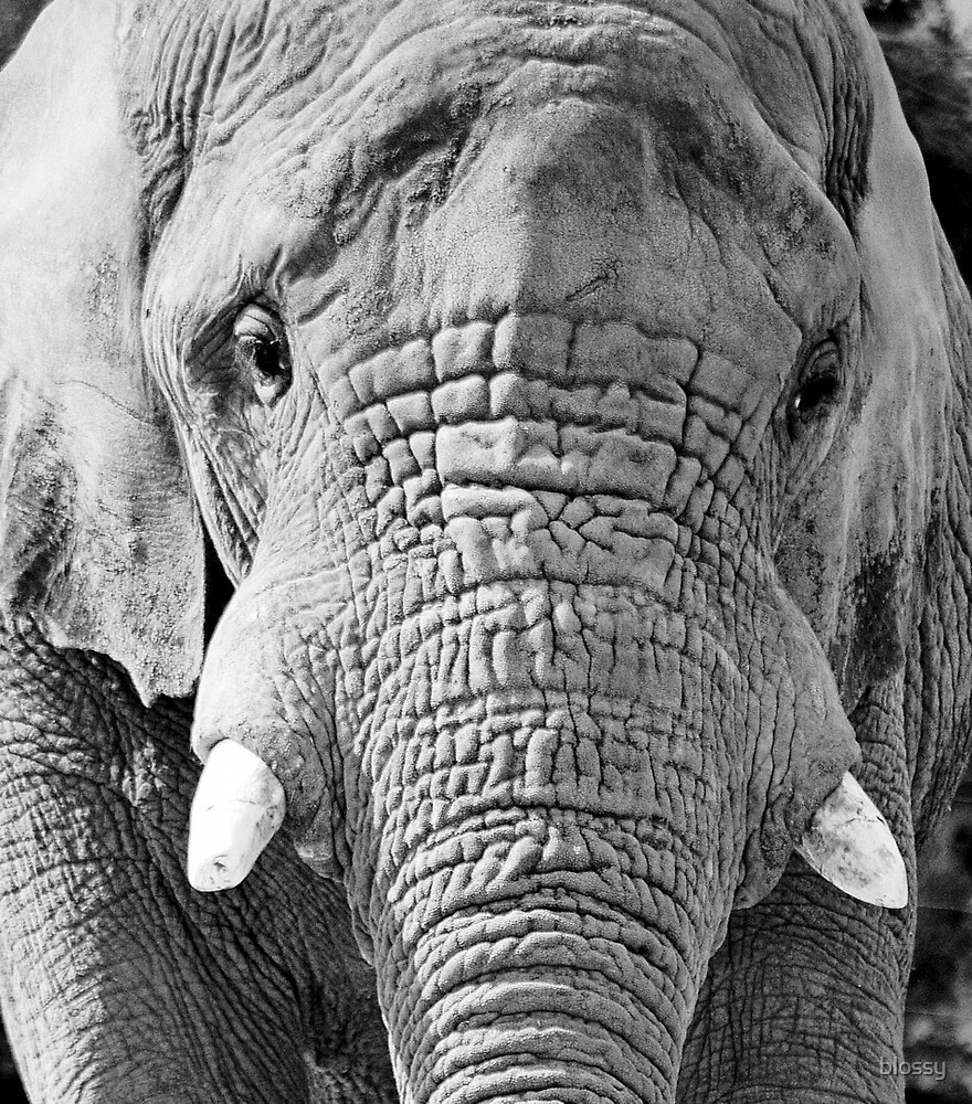 Elephant  by Susan  Bloss
