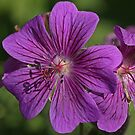 Geranium himalayensis by Robert Abraham
