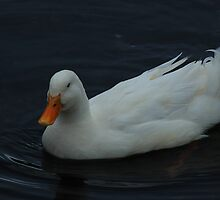 White Goose Swimming by rhamm