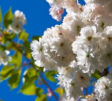 The frothy beauty of blossom in May by Zoë Power